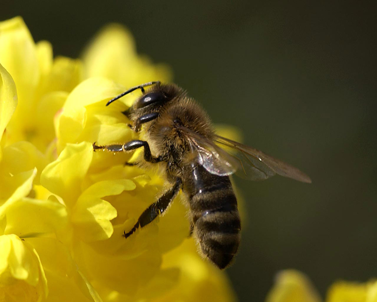 _ Башкирская бортевая (бурзянская) пчела. Фотография, http://animalwild.net/.