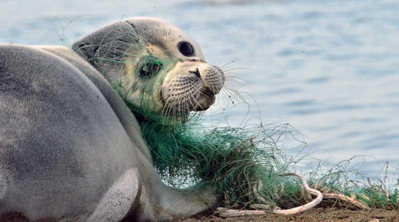 Каспийский тюлень в сетях. Фотография Баймуканова М.Т.