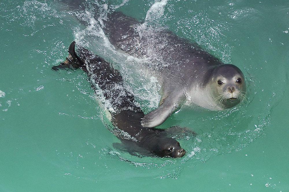 Тюлени монахи. Мама с детенышем.