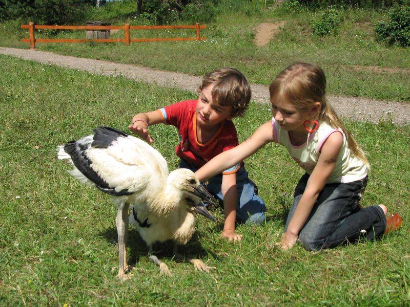 Белый аист. Фотография, http://gorod67.biz/news/3821/.
