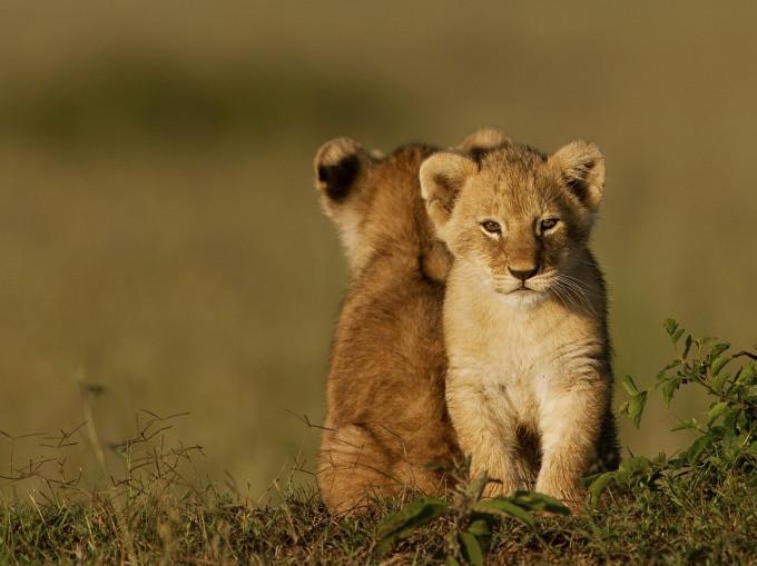 Заповедник Масаи-Мара, Кения. Фотография Serhat Demiroglu, http://pixanews.com/animals/lvyata-tozhe-grustyat.html.