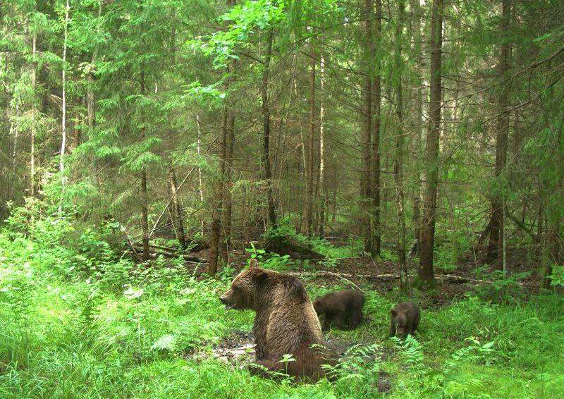 Медведица с медвежатами. ФГБУ «Заповедная Мордовия», Россия. Фотография предоставлена Есиной Ириной.