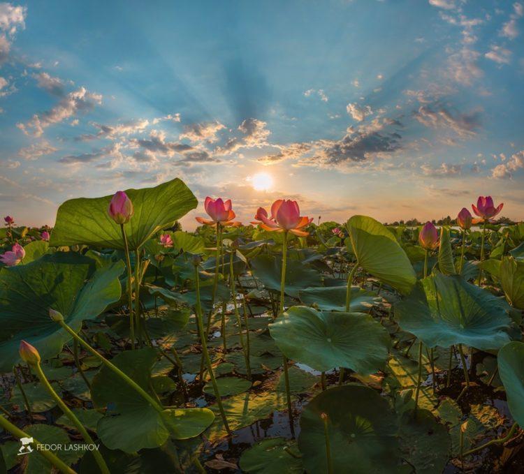 Цветущий лотос. Фотография Фёдора Лашкова. Астраханский биосферный заповедник, Россия.
