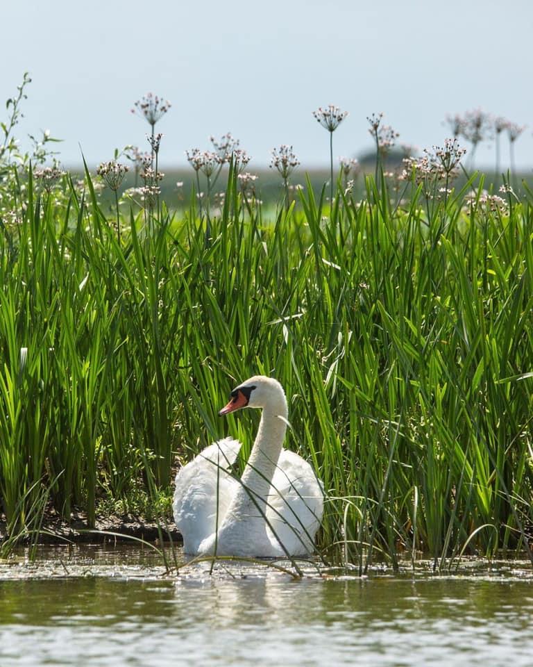 Лебедь-шипун от Алексея Кашина. Астраханский биосферный заповедник, Россия.