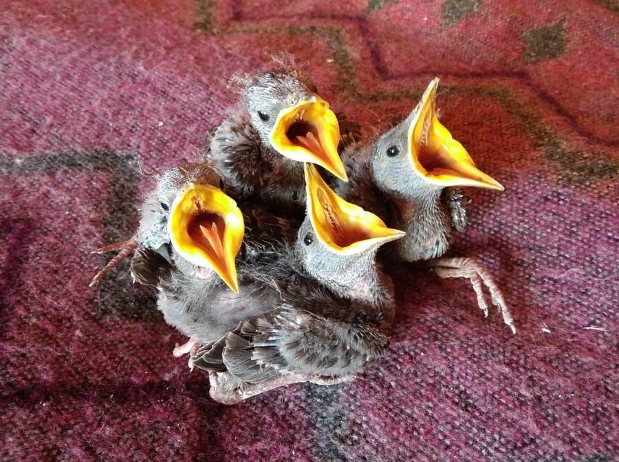 «Скворцы хотят кушать всегда»». Центр реабилитации и реинтродукции диких птиц «Воронье Гнездо». Фотография Веры Пахомовой.