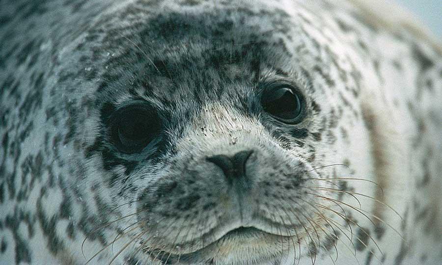 «Это – серка. То есть белек тюленя-ларги (Phoca largha), впервые перелинявший». Фотография Василия Солкина, http://vsolkin.livejournal.com/66212.html.