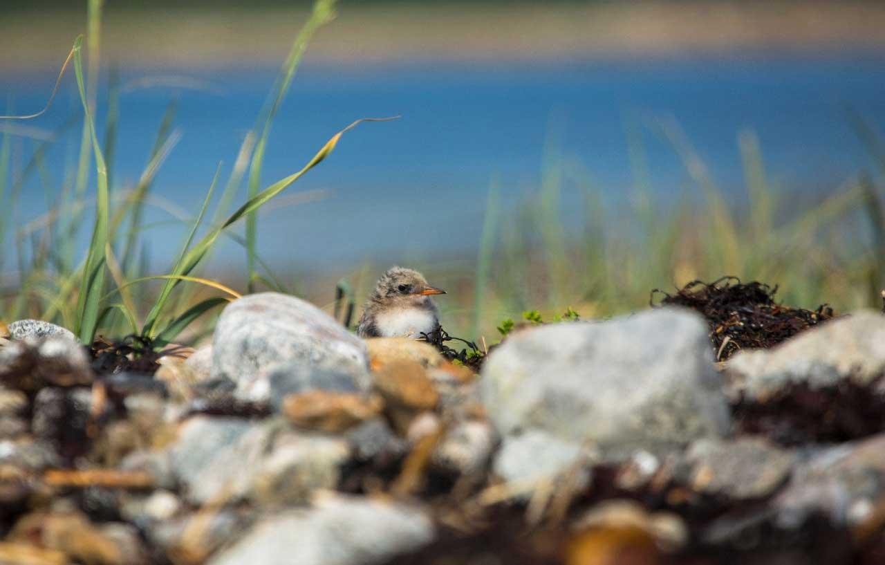 Птенец полярной крачки. Национальный парк «Онежское Поморье», Россия. Фотография с сайта парка.