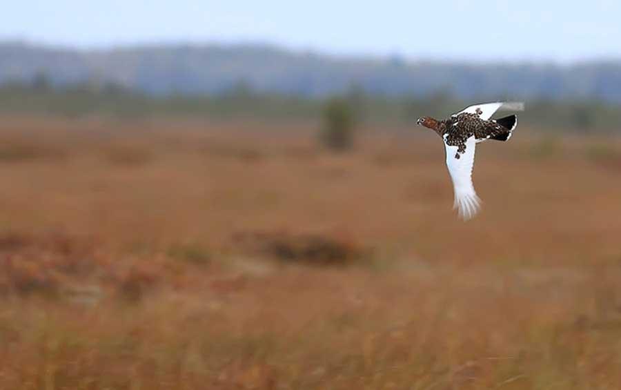 Среднерусская белая куропатка (Lagopus lagopus rossicus, Serebrowsky, 1926). Полистовский заповедник, Россия. Из статьи А. Колотилина «Мы нашли белую куропатку!!!», http://macrolight.livejournal.com/22098.html?thread=824658.