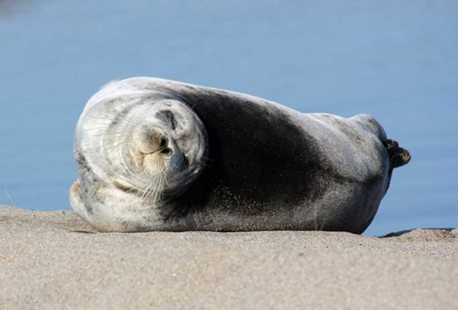 Морской заяц. Национальный парк «Онежское Поморье», Россия. Фотография с сайта парка.